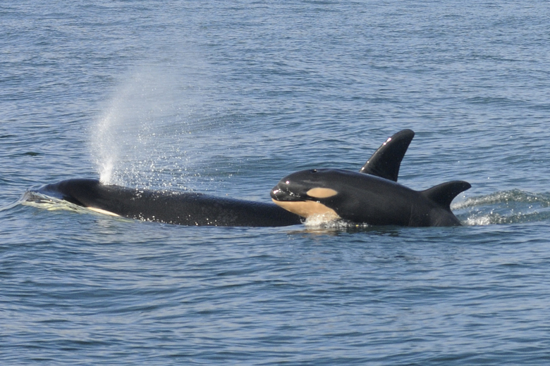 Mother Orca Of Dead Baby Calf Let Go Of Carcass 17 Days Later [PIC]