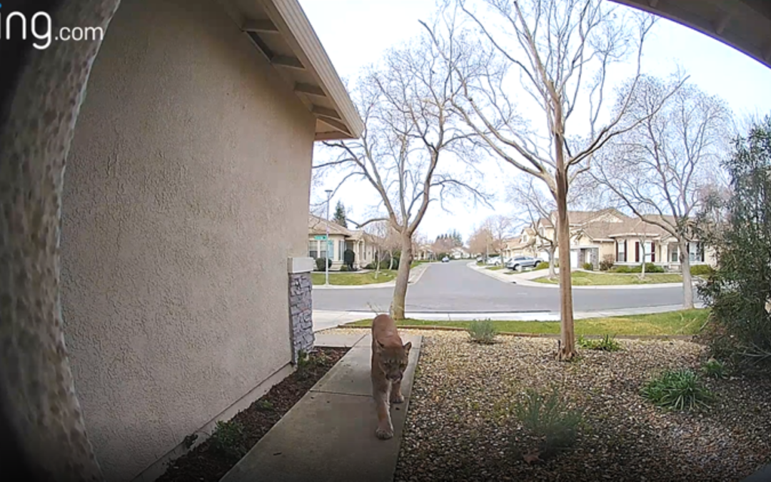 Ring Camera Catches Mountain Lion In Natomas Neighborhood [VIDEO/PICS]