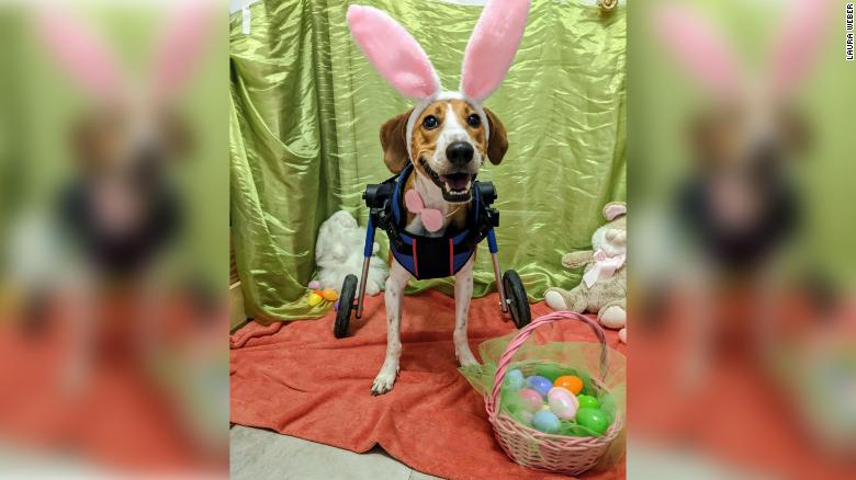 A 2 Legged Dog Named 'Lieutenant Dan' Is In The Finals To Be The Next Cadbury Bunny [PIC]